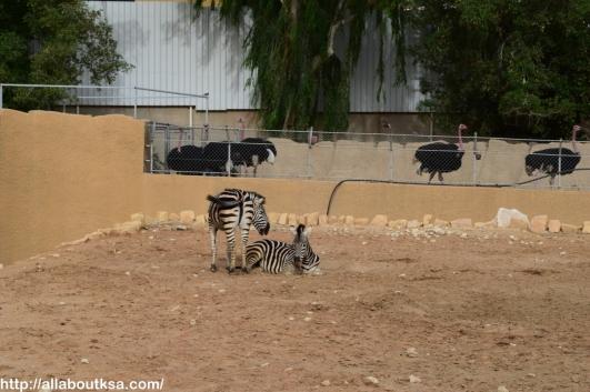 Riyadh Zoo - Zebra