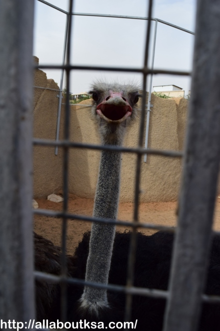 Riyadh Zoo - Ostrich: ready for a pic :)