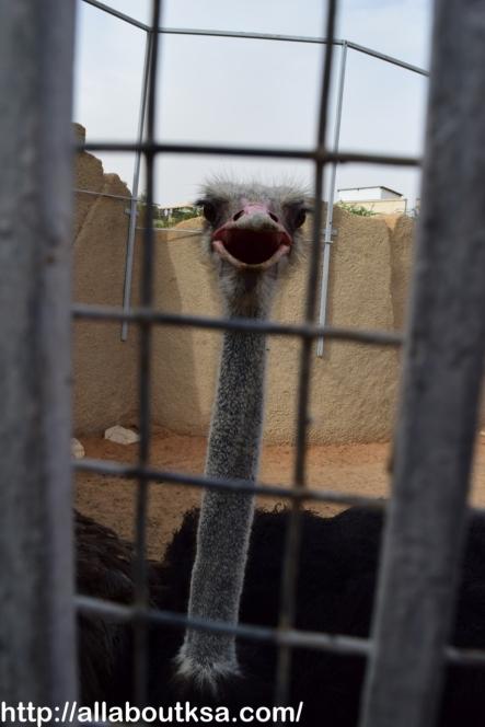 Riyadh Zoo - Ostrich: ready for a pic :)