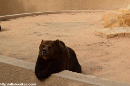 Riyadh Zoo - Bear is looking at the visitors
