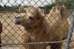 Riyadh Zoo - Two hump Camel