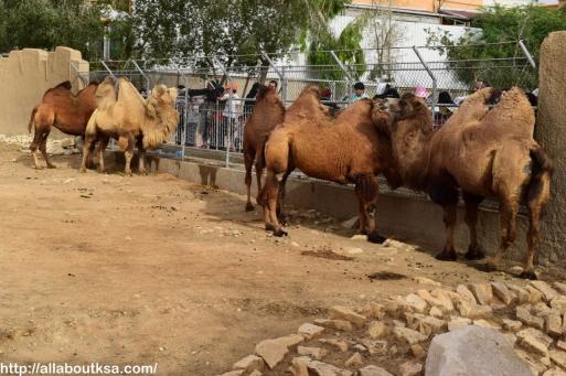 Riyadh Zoo - Camel