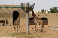 Riyadh Zoo - Giraffe