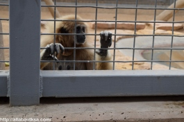Riyadh Zoo - Gibbon (Monkey)