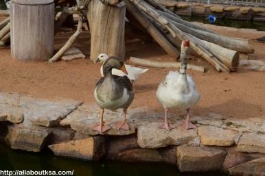 Riyadh Zoo - Ducks