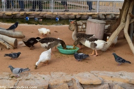 Riyadh Zoo - Ducks