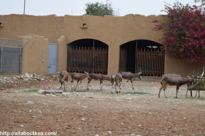 Riyadh Zoo - Blesbok