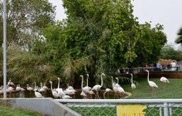 Riyadh Zoo - Greater Flamingo