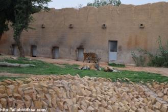 Riyadh Zoo - Bengal Tiger
